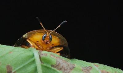 Silver tortoise beetle
