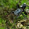 Velvet ant-mimicking corinnid spider