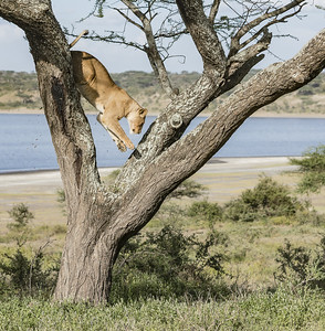 Leaping Lioness