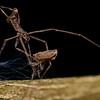 Net-casting spider (Menneus sp.) with prey