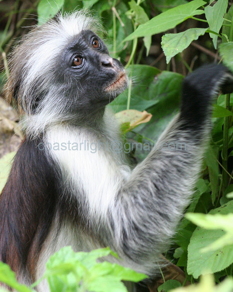 Old Red Colobus monkey, Zanzibar