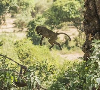 Baboon Broadjump