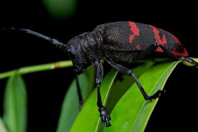 Aposematic longhorn beetle