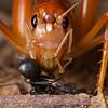King cricket (Anostostomatidae) with ant prey