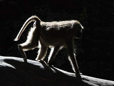 Baboon in Backlight