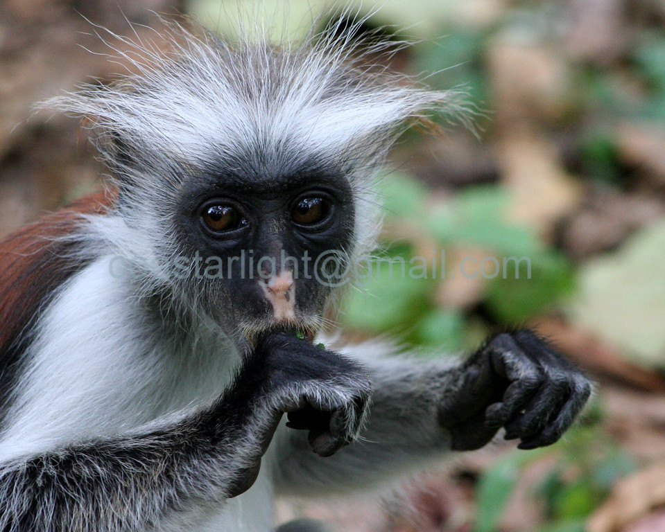 Young Red Colobus monkey, Zanzibar