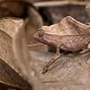 Ground chameleon (Rieppeleon brevicaudatus)