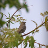 Sparrow???