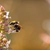 Bumble-bee on Sage