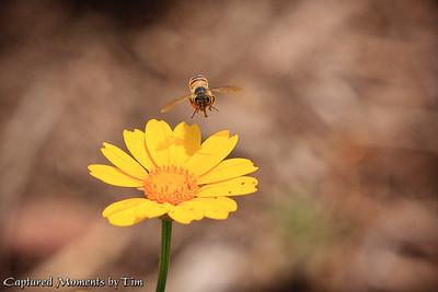 Honey Bee on a Daisy