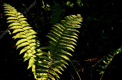 IMG_2678b Ferns in the Sunlight
