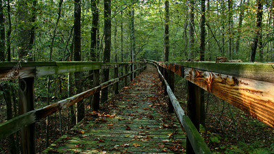IMG_2632 Leaf Covered Boardwalk through Dismal Swamp (sunlight)