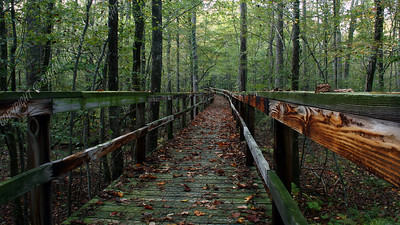 IMG_2631 Leaf Covered Boardwalk through Dismal Swamp (cloudy)