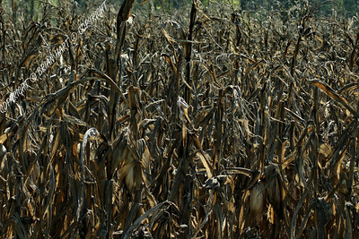 Corn stalks in the Cross Creeks NWR, near Dover, TN