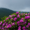 Rhododendron in the Clouds