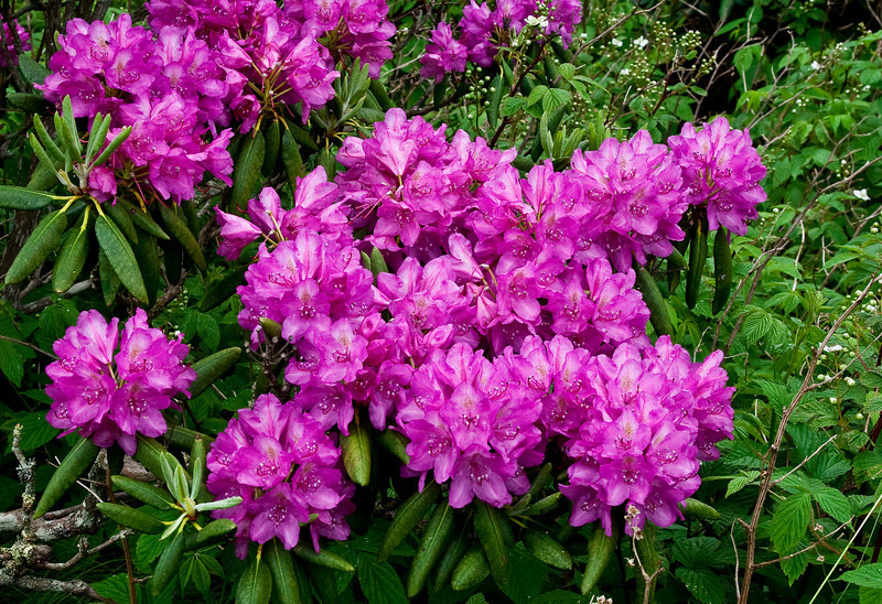 Rhododendron Cluster, Roan 104
