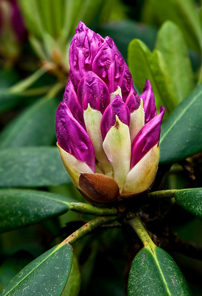Rhododendron Bud, Roan 106