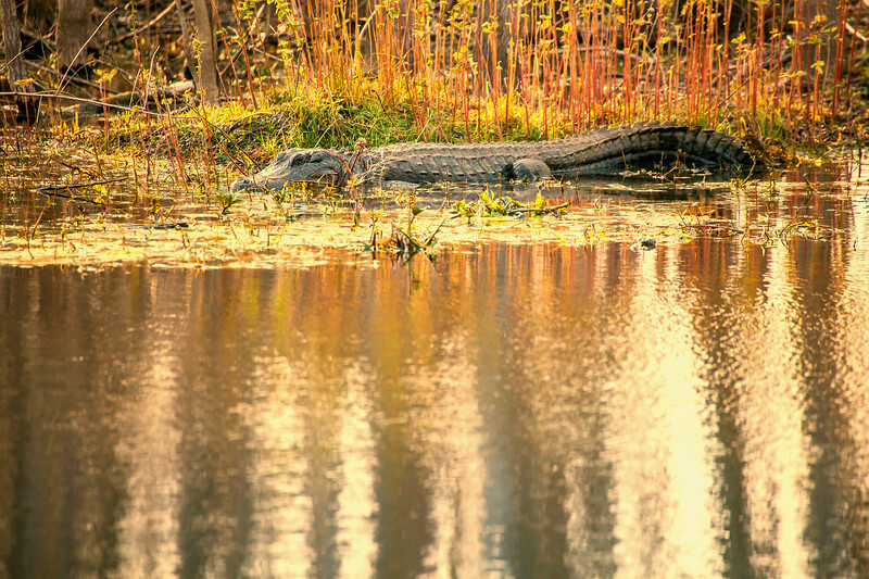 2016_2_13 Brazos Bend State Park-5502