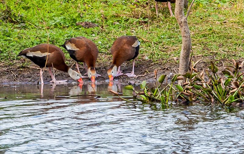 2016_2_13 Brazos Bend State Park-5411