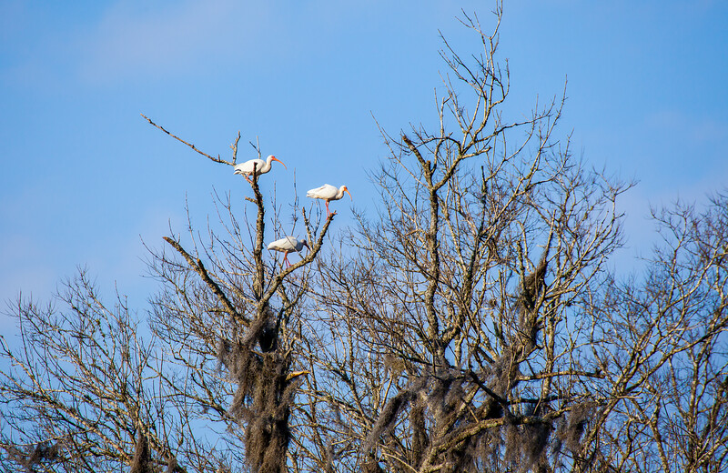 2016_2_13 Brazos Bend State Park-5489
