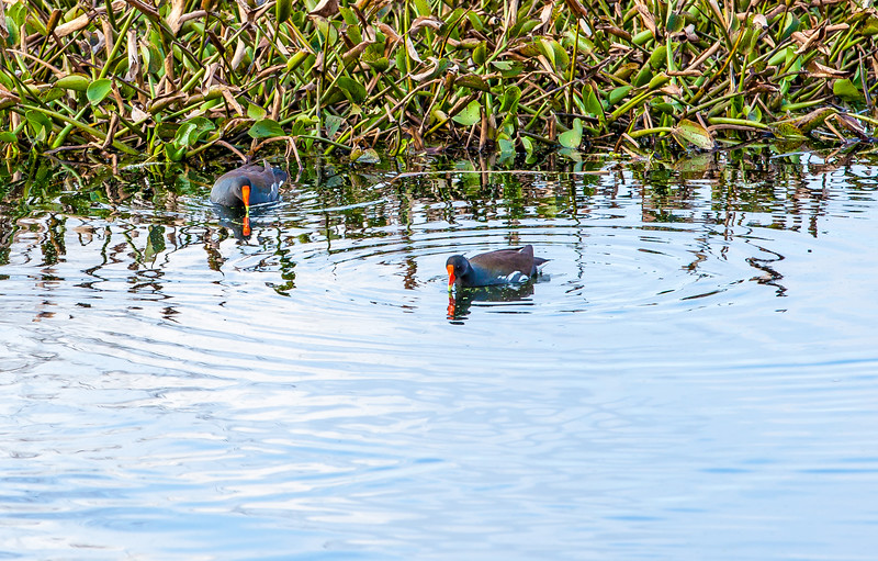 2016_2_13 Brazos Bend State Park-5438