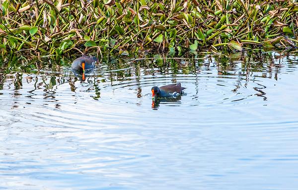 2016_2_13 Brazos Bend State Park-5438