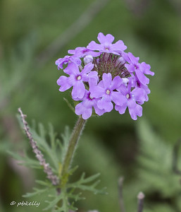 Prairie Verbena, visible in some of the larger vista images.