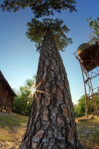 Texas Pine_tonemapped