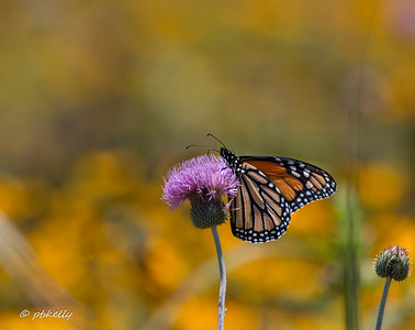 An old friend I was glad to see.  Monarch on Thistle.