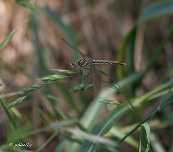 The Variegated Meadowhawks were all over this wetland.