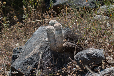 Same kind of cactus, not blooming, and growing in the rocks.