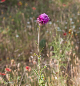 Musk Thistle.