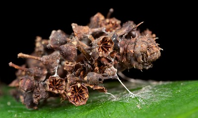 Camouflaged bagworm larva