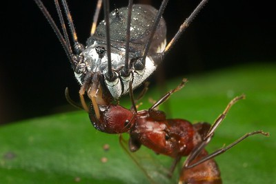 Harvestman with scavenged ant