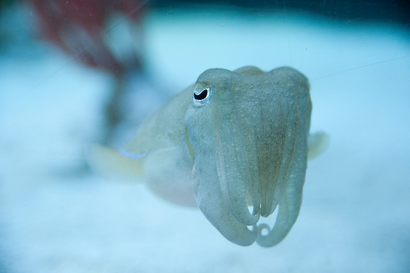 A cuttlefish.