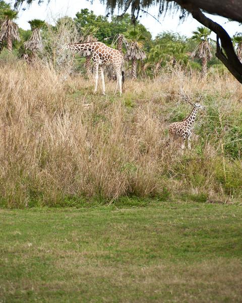 Real giraffes.
