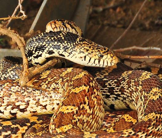 Bull Snakes,  in Black Hills Wild Horse Sanctuary