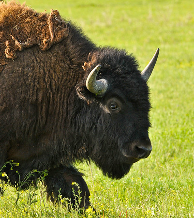 Bison, near the Badlands