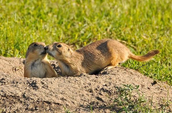 """""""Prairie Home Companions"""", prairie dogs near the Badlands"""