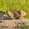 """Prairie Home Companions"", prairie dogs near the Badlands"
