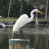 An egret in the marina in Melbourne