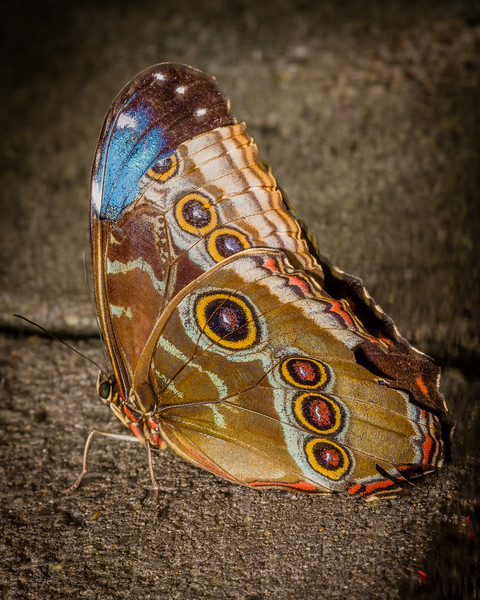 Blue Morpho, closed wings with dorsal color showing thru damaged wingtip
