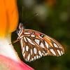 Gulf Fritillary on Bird of Paradise