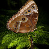 Blue Morpho, closed wings