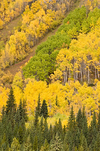 Autumn aspen colors in the Rocky Mountains, on a west-facing slope along the Icefields Parkway