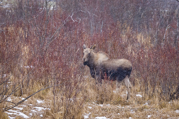 Moose in early winter snow