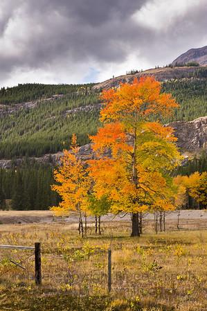 Vivid aspen tree autumn colors near Abraham Lake, Alberta
