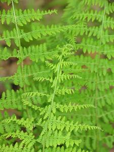 Ferns