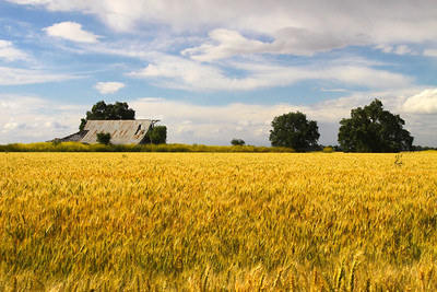 North Davis Wheat