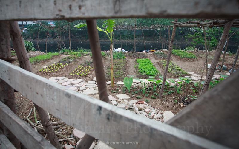 Trồng rau bên bờ sông Tô Lịch